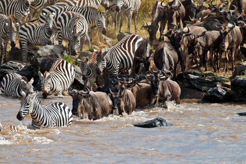 Wildebeest and zebra crossing the River Mara            photo by Roman Murushkin