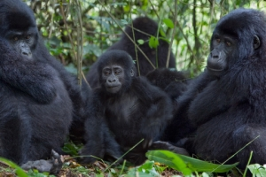 Mountain Gorilla families can be observed in Uganda and Rwanda. Photo by Paul Van Den Berg