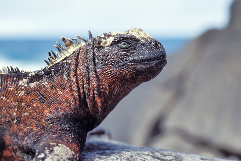 Marine iguanas are one of the unique treasures of the Galapagos Islands. Photo by Photodynamic