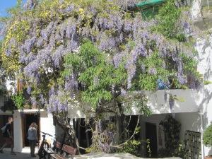Wisteria blooming in an Alpujarras village