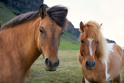 Will this be the year you ride Icelandic horses? Photo by Luciany