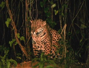 The jaguar is the elusive star of Brazil's Pantanal. Picture from Wikipedia