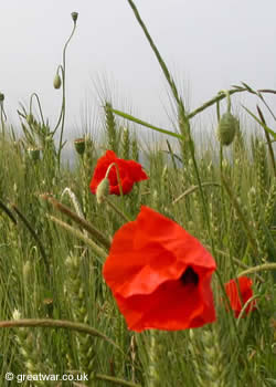 A poppy blooming on the Somme battlefield. Photo by GreatWar.co.uk