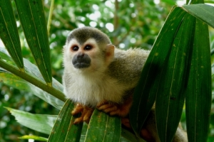 The squirrel monkeys of Manuel Antonio will entertain you as they frolic in the lush greenery.  © Nachosuch | Dreamstime.com