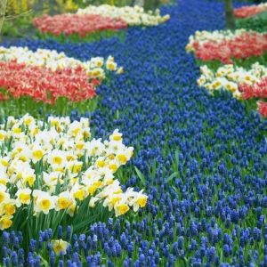 Imagine the extravagance of this display at Keukenhof Gardens.  © Phbcz | Dreamstime.com