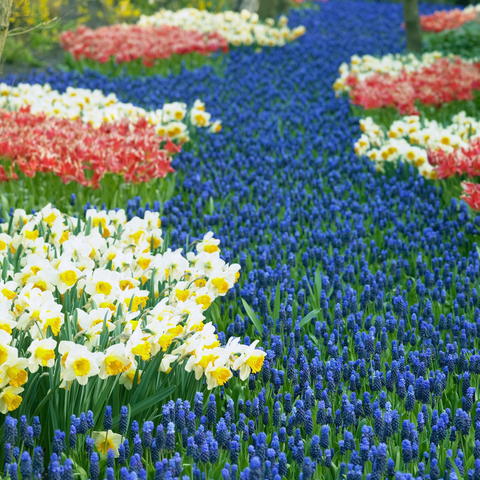 Imagine the extravagance of this display at Keukenhof Gardens in the Netherlands. © Phbcz | Dreamstime.com