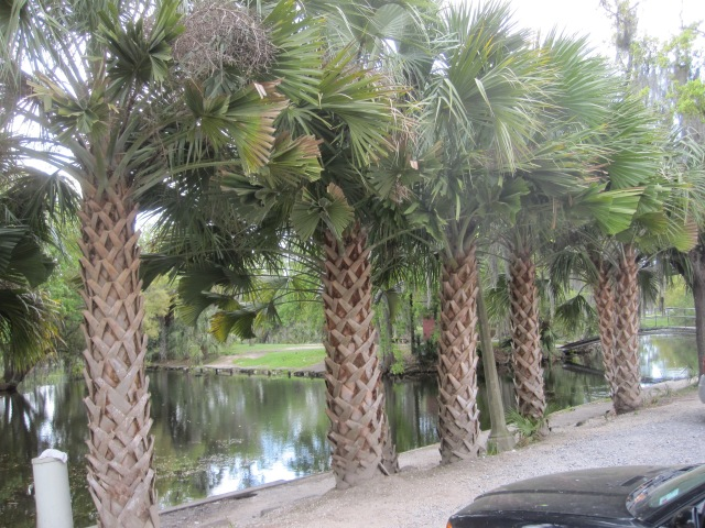 Seeing a stand of palms like these of City Park within the continental US always amazes this girl from the Great Plains.  Photo by J. Emmons