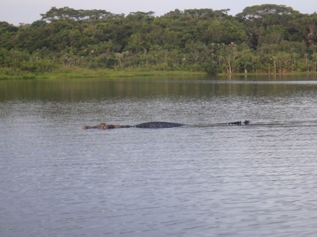 Our own close encounter with a black caiman. Photo by G. Emmons