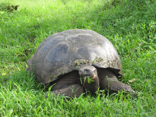 Tortoises have no teeth. the greens they eat often look unaffected by digestion. Photo by J Emmons