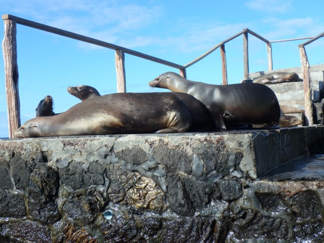 Realizing the humans are coming, the sea lions begin to move.